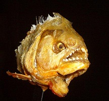 Picture of a piranha